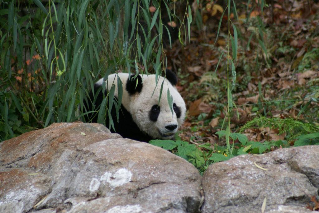 Panda at National Zoo
